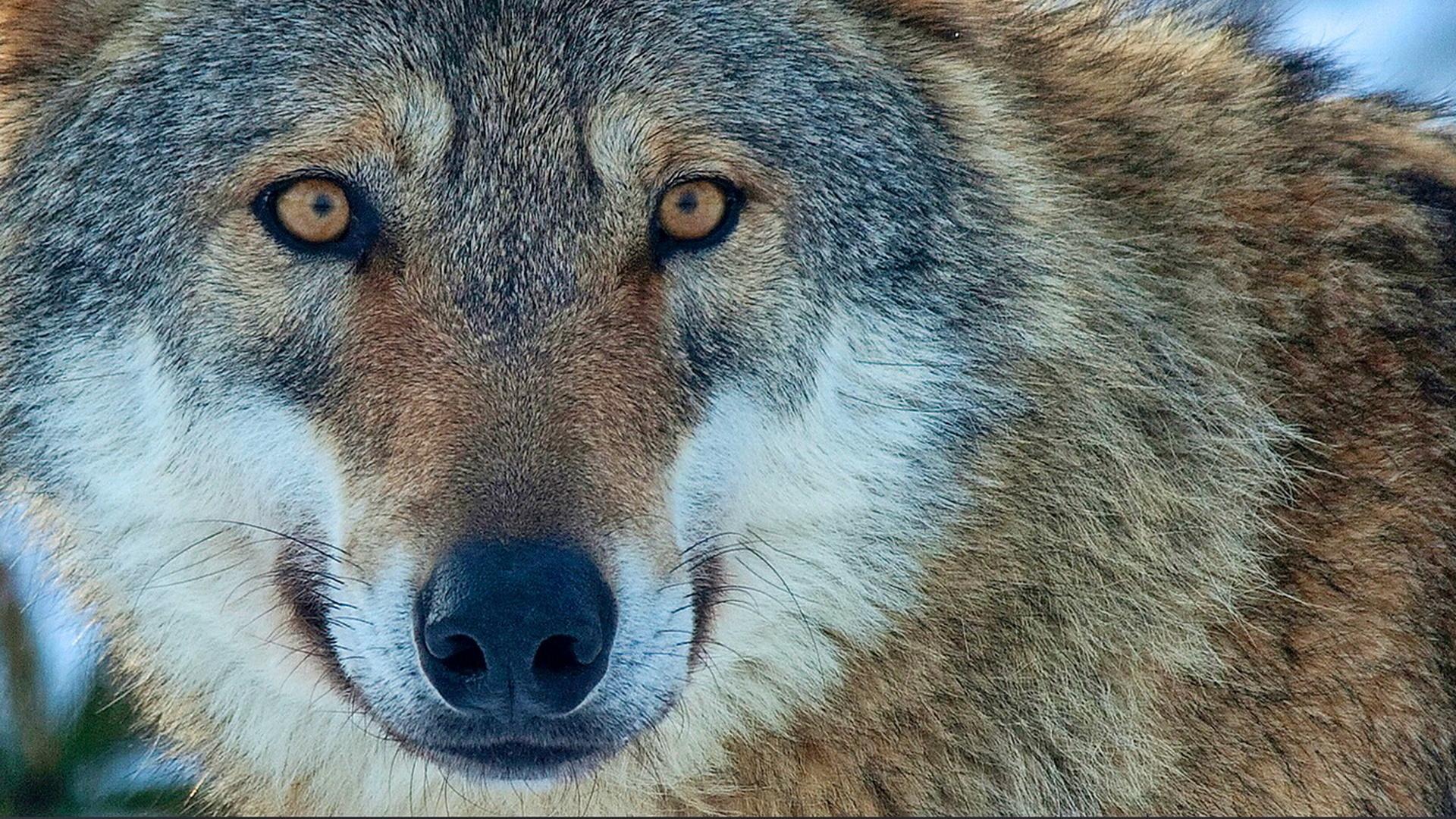 Картинки взгляд волка, день рождения годик