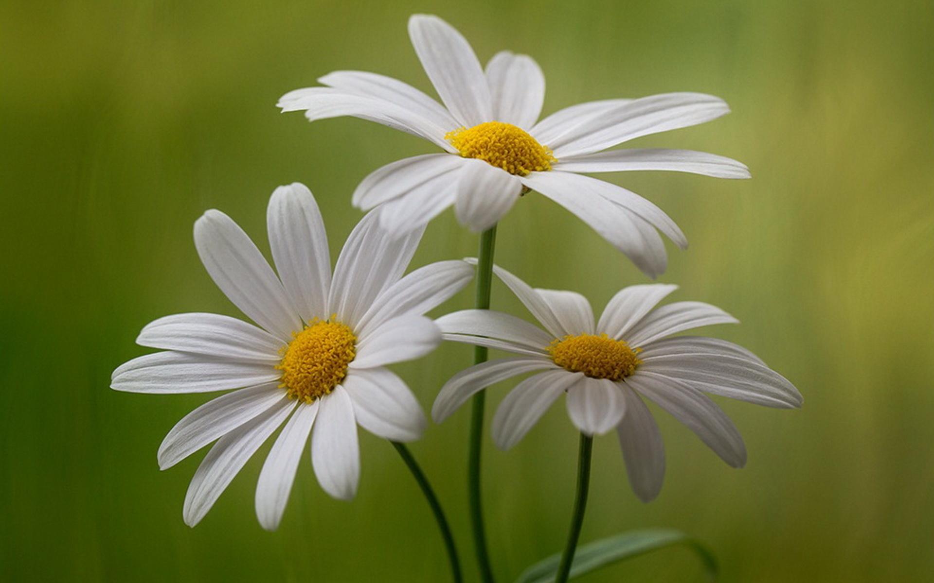 смотровую площадку фото цветка ромашки мимолетной была твоя