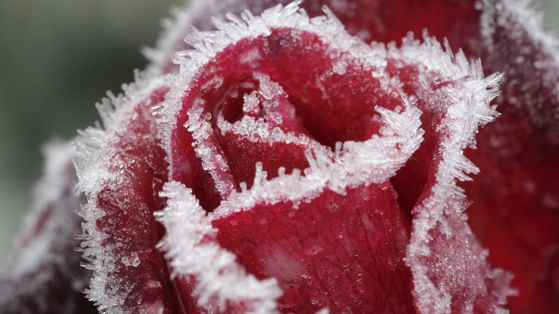 Картинки цветы в снегу