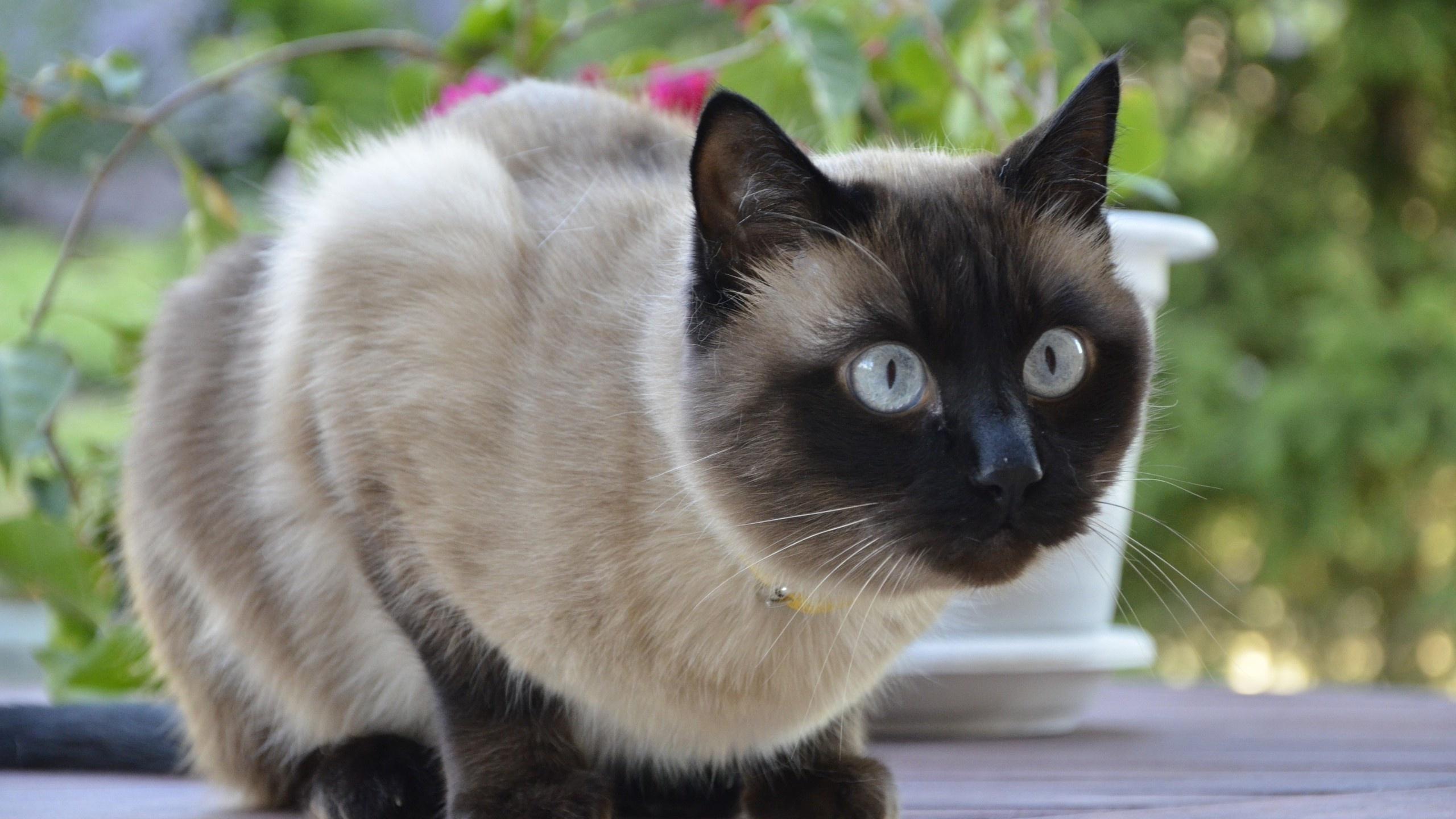 Картинки с сиамскими котами, шитые