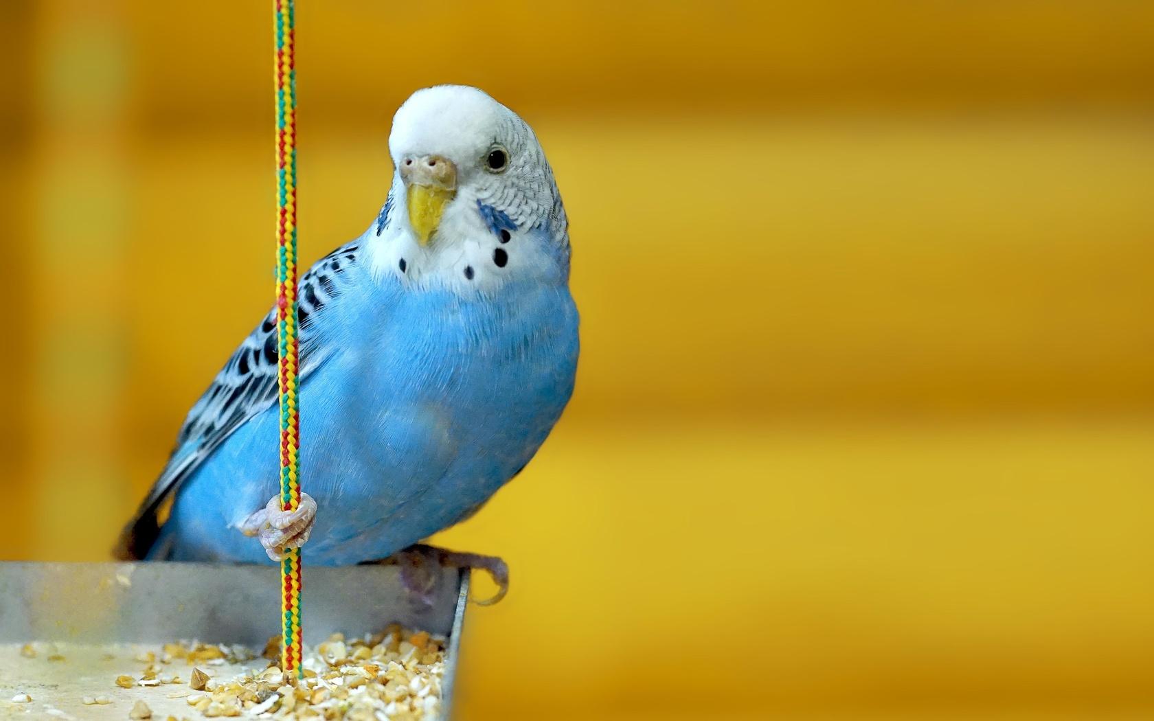 Картинки с попугайчиками волнистыми голубыми, приколы