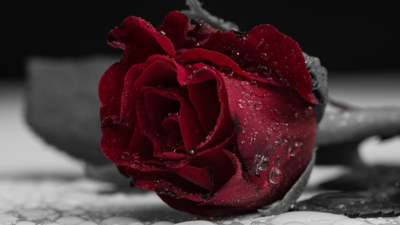 роза, цветок, красный, лепестки, бутон, капли, макро, цвет