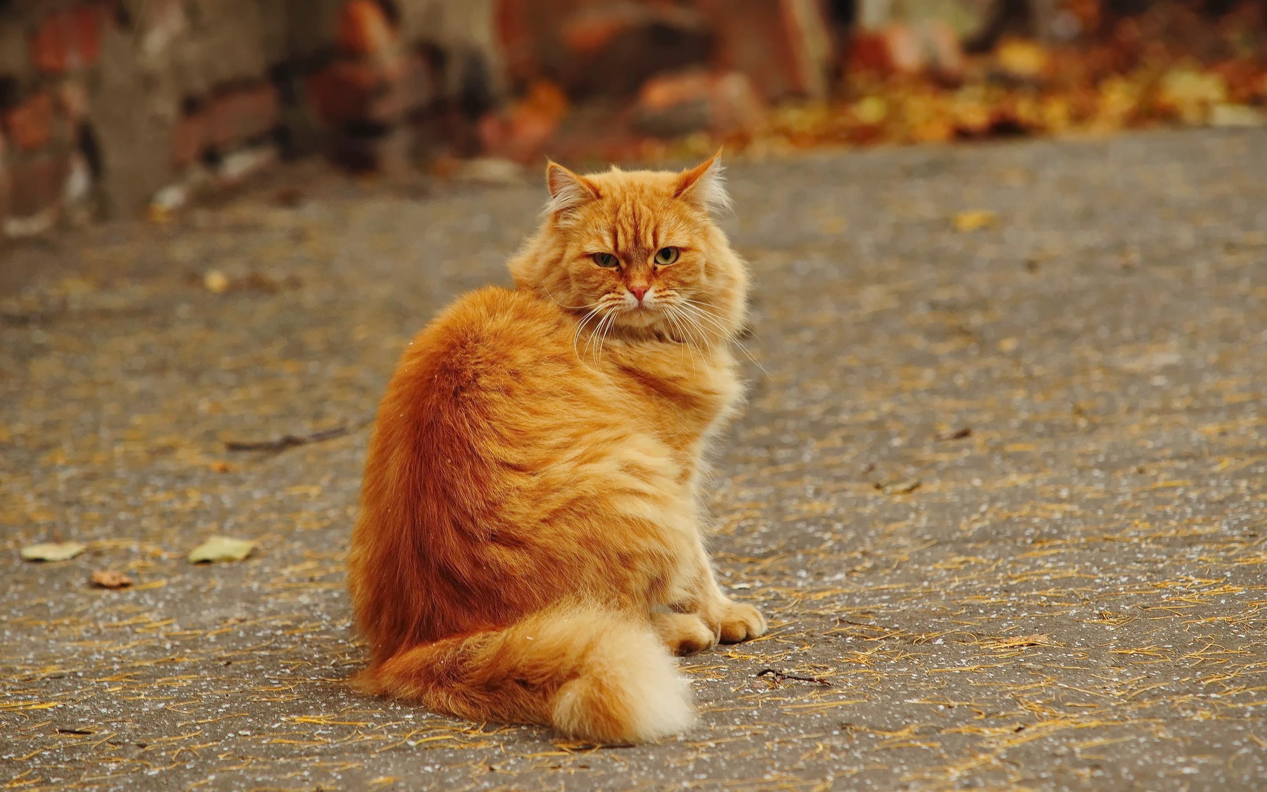 Рыжие кошки картинки фото, марта