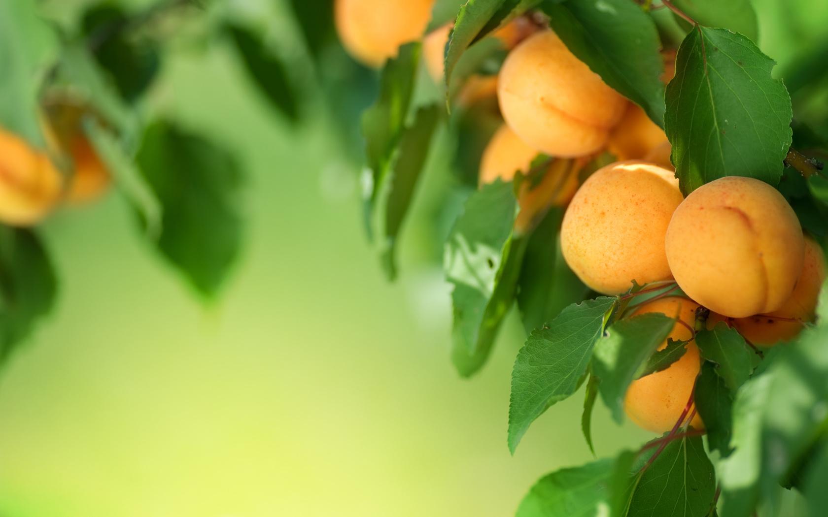 листва, дерево, фрукты, абрикосы, фрукты