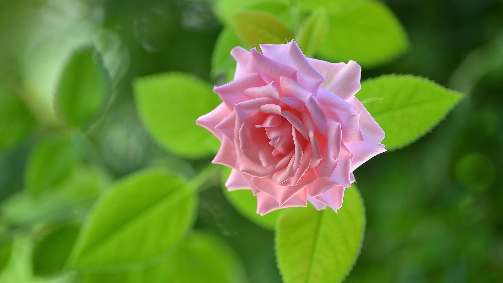 rose, bud, macro