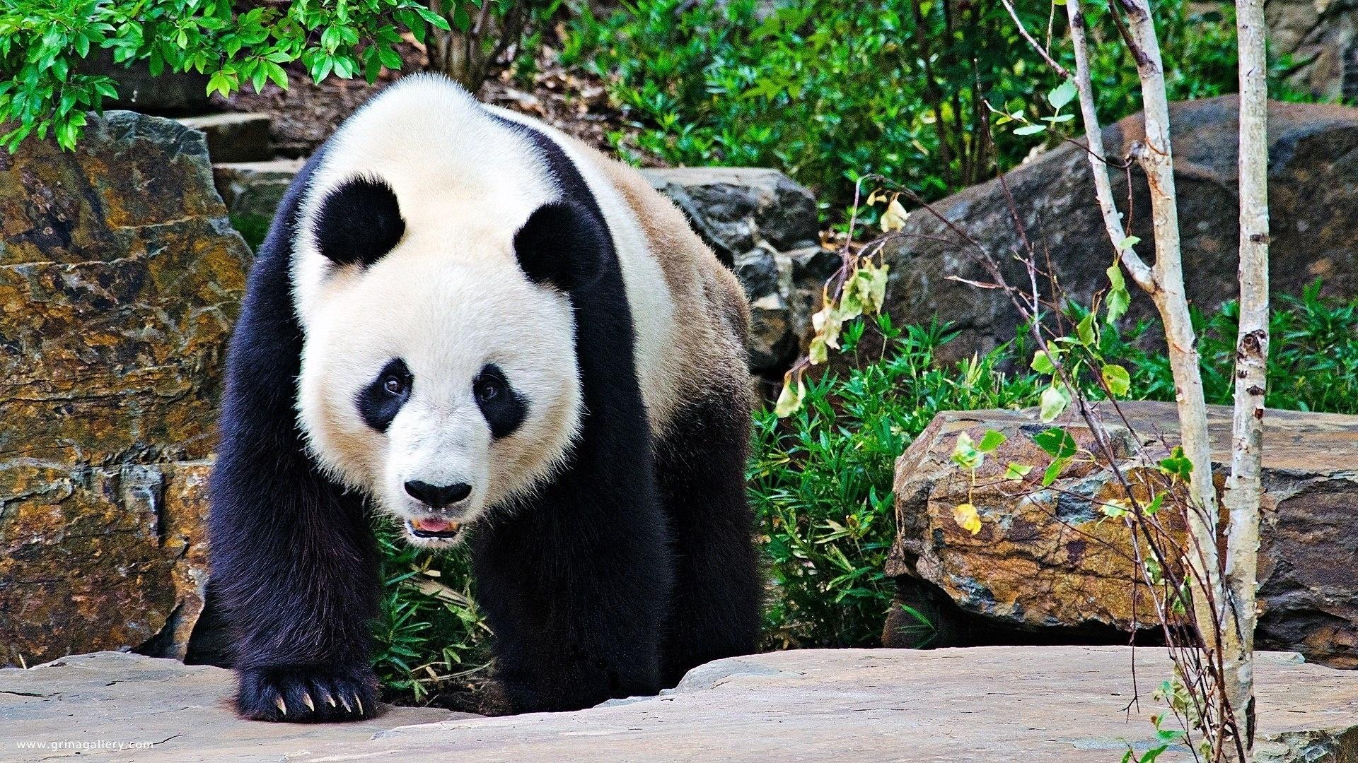 Картинки мишка панда