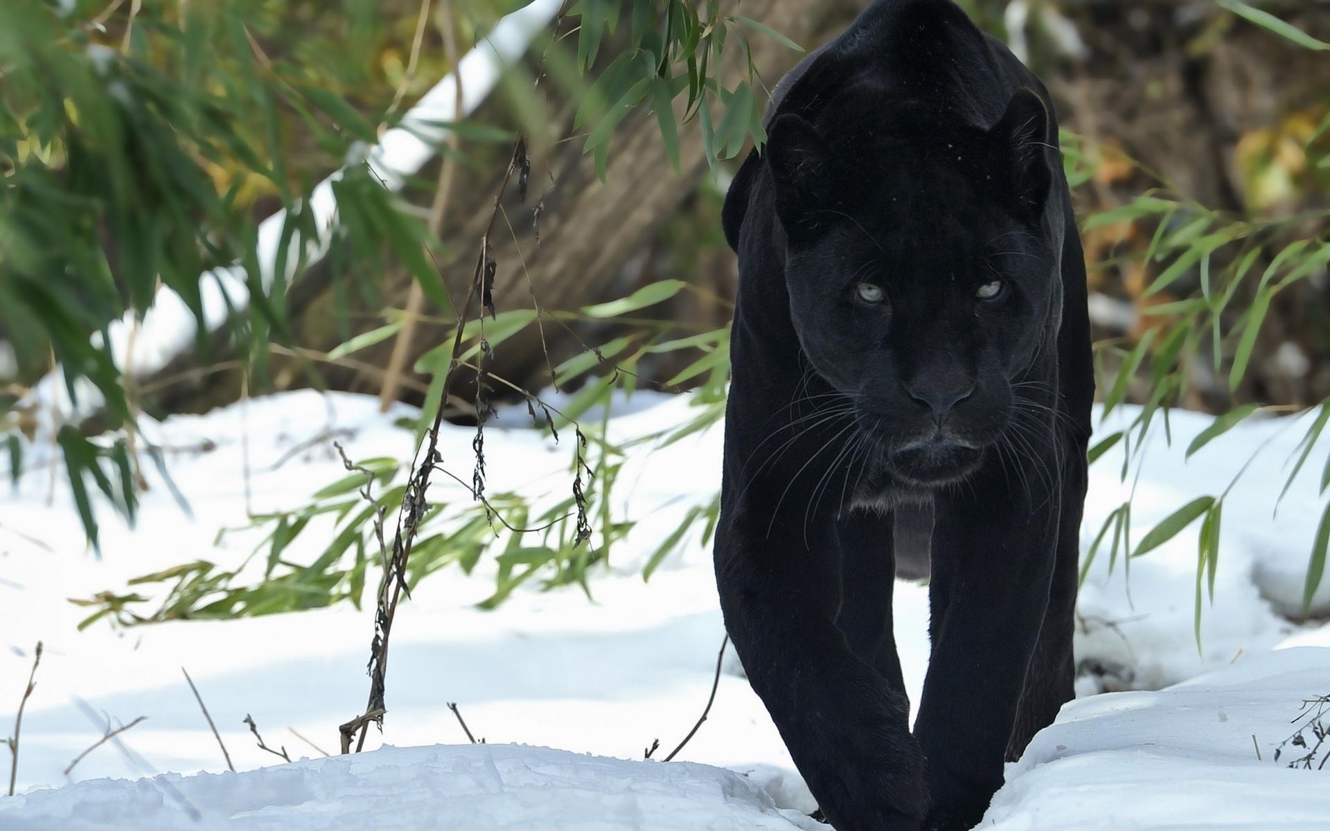 Пантера в картинках
