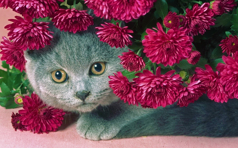 cat, gray, flowers, serenevye, a fat cat, beautiful