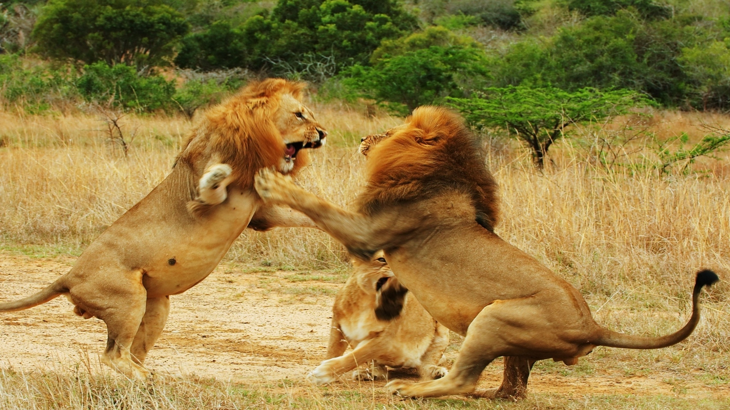 animals competing for territory - 700×461