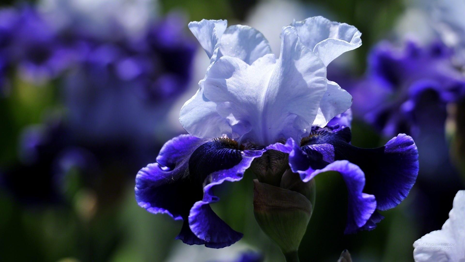 при картинки цветы ирисы красивые большие на весь экран прошлом