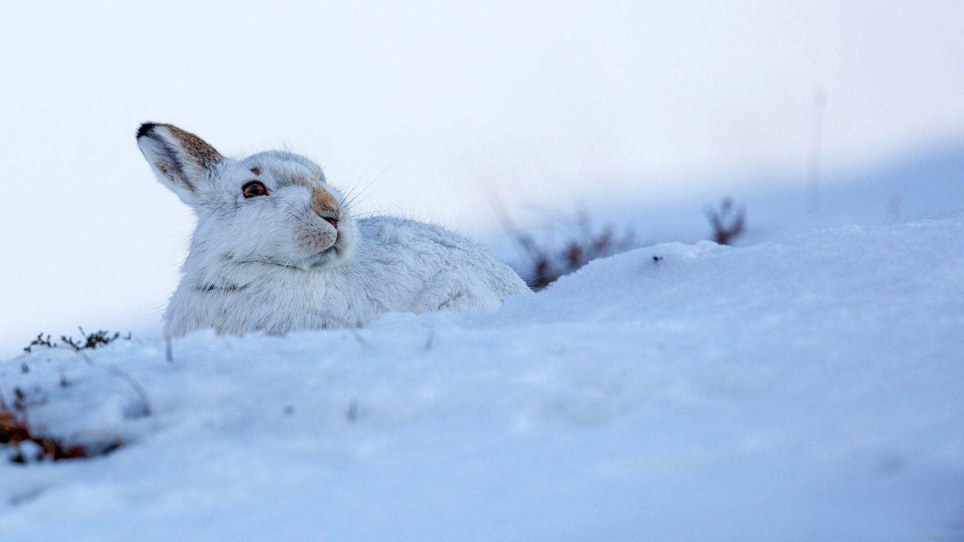 животные, заяц беляк