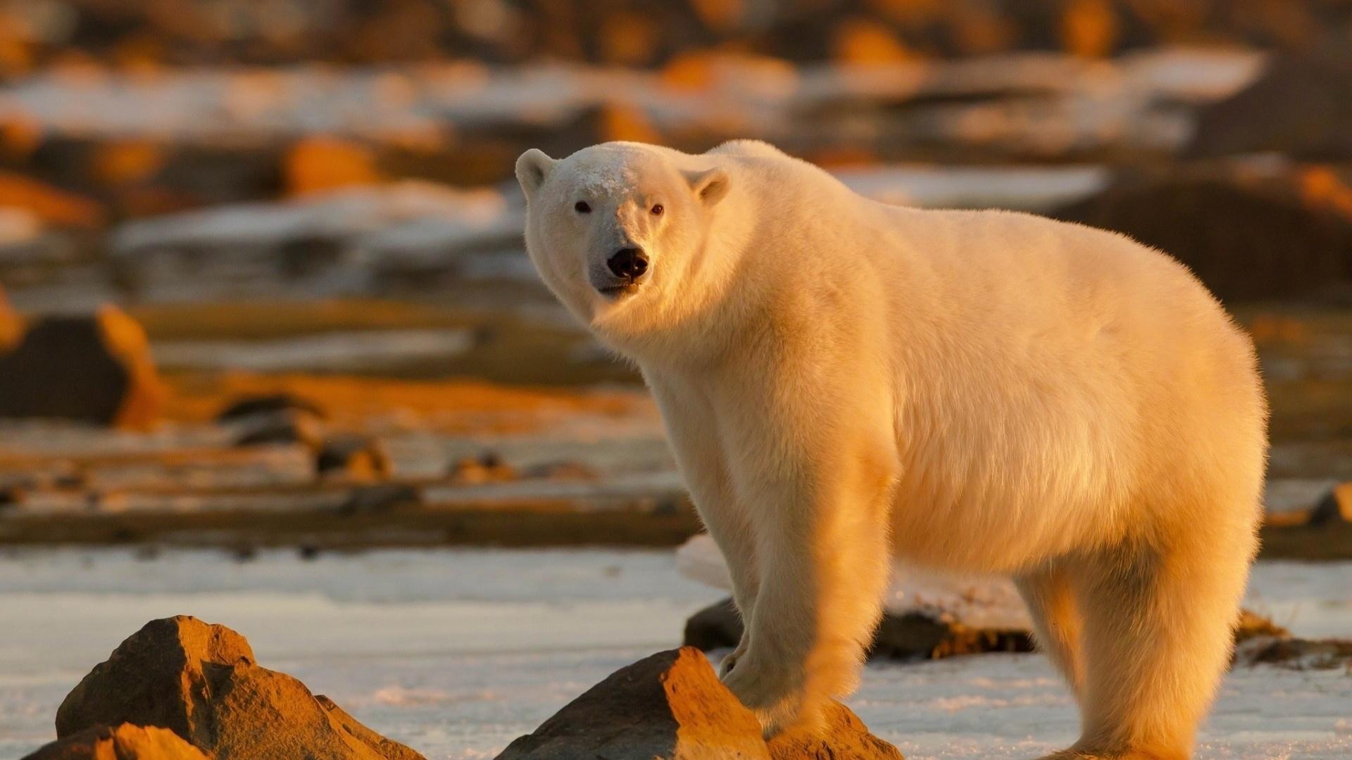 Картинки белые медведи