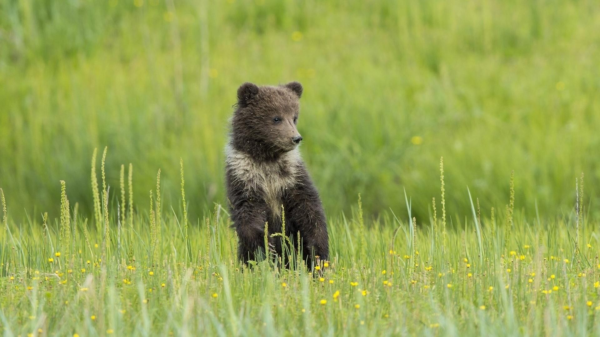Медвежата на картинках