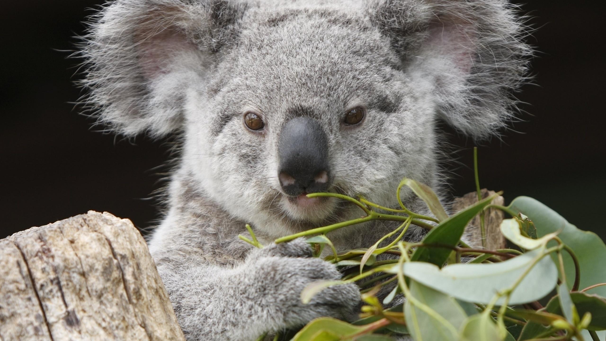 Прикольные картинки с коала