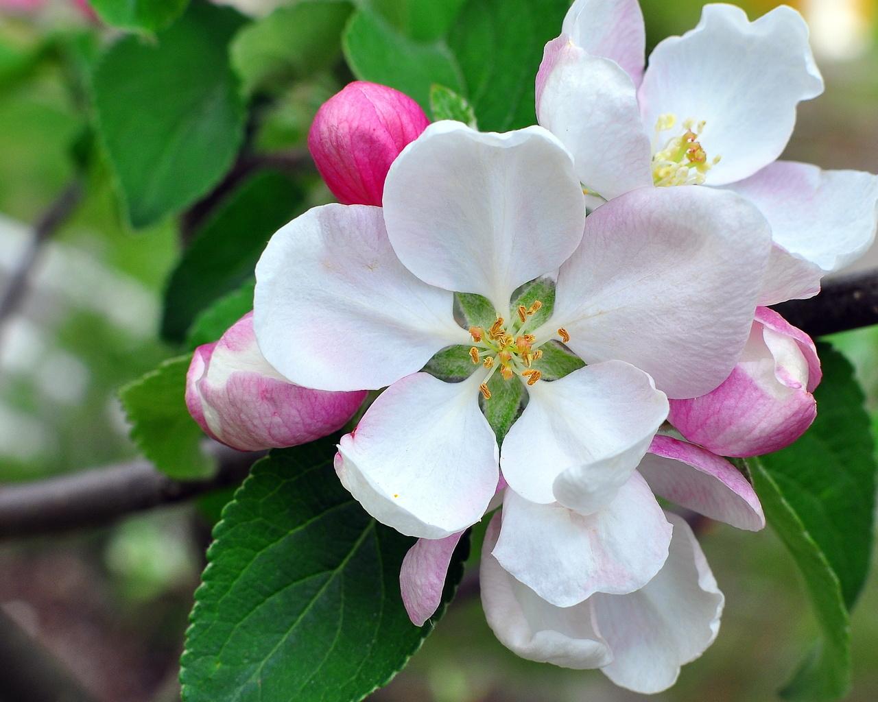 яблоня, бутоны, лепестки, цветение, ветка, макро