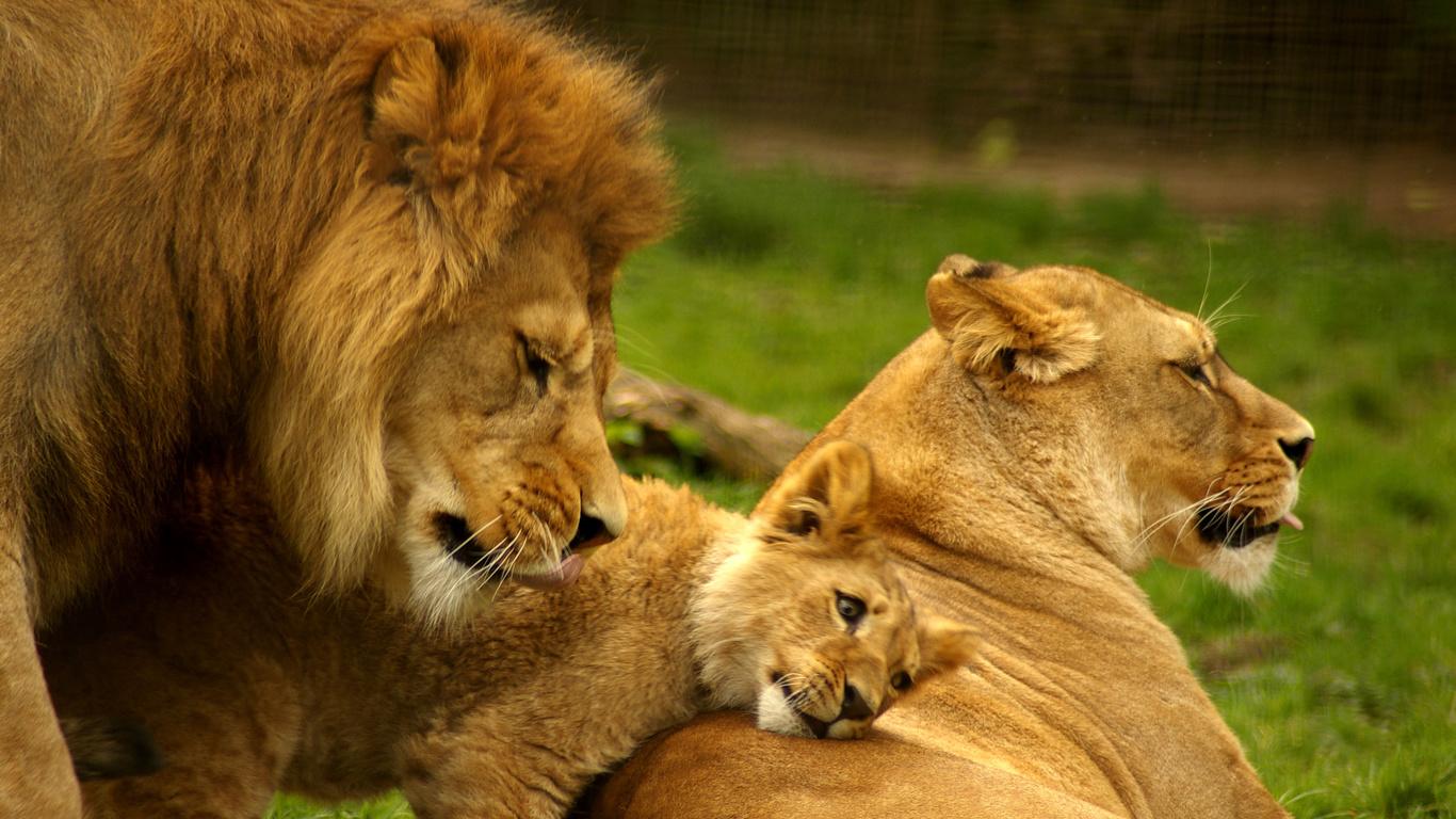 Картинка со львом и львицей