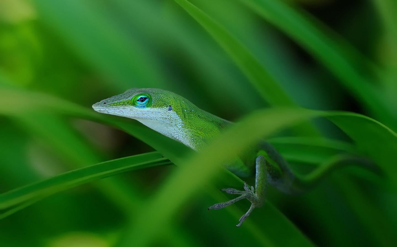 ящерица, зеленая, макро, трава