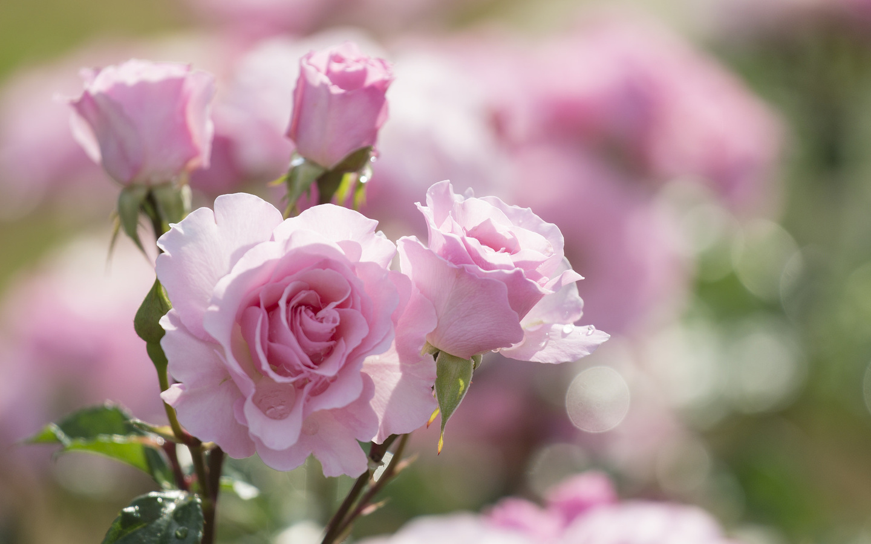 Открытки для, нежные розы картинки красивые