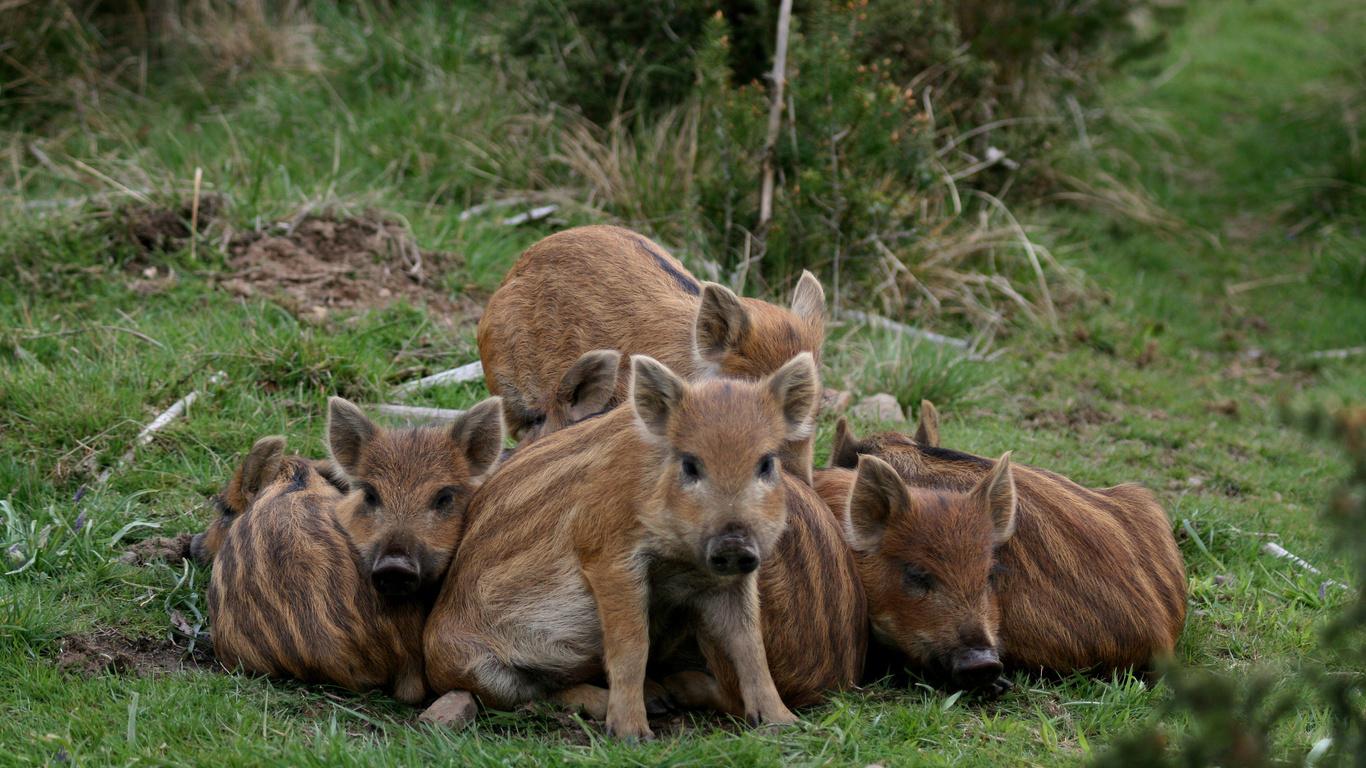 boars, pigs, wildlife