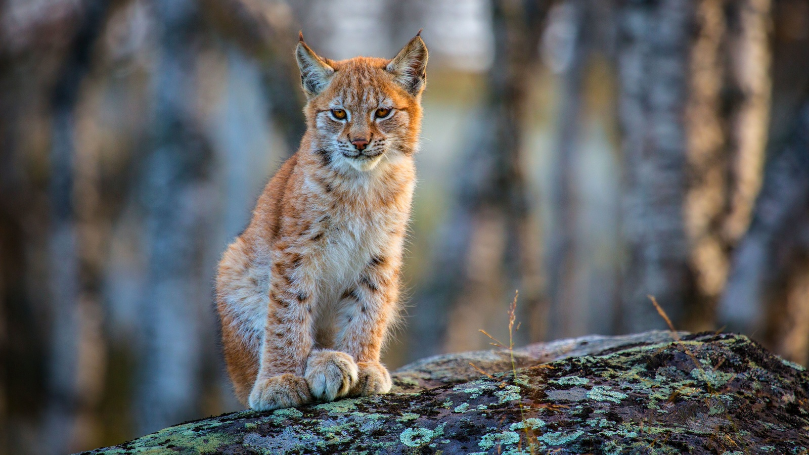 рысь, lynx, кошка, кот, рыжий
