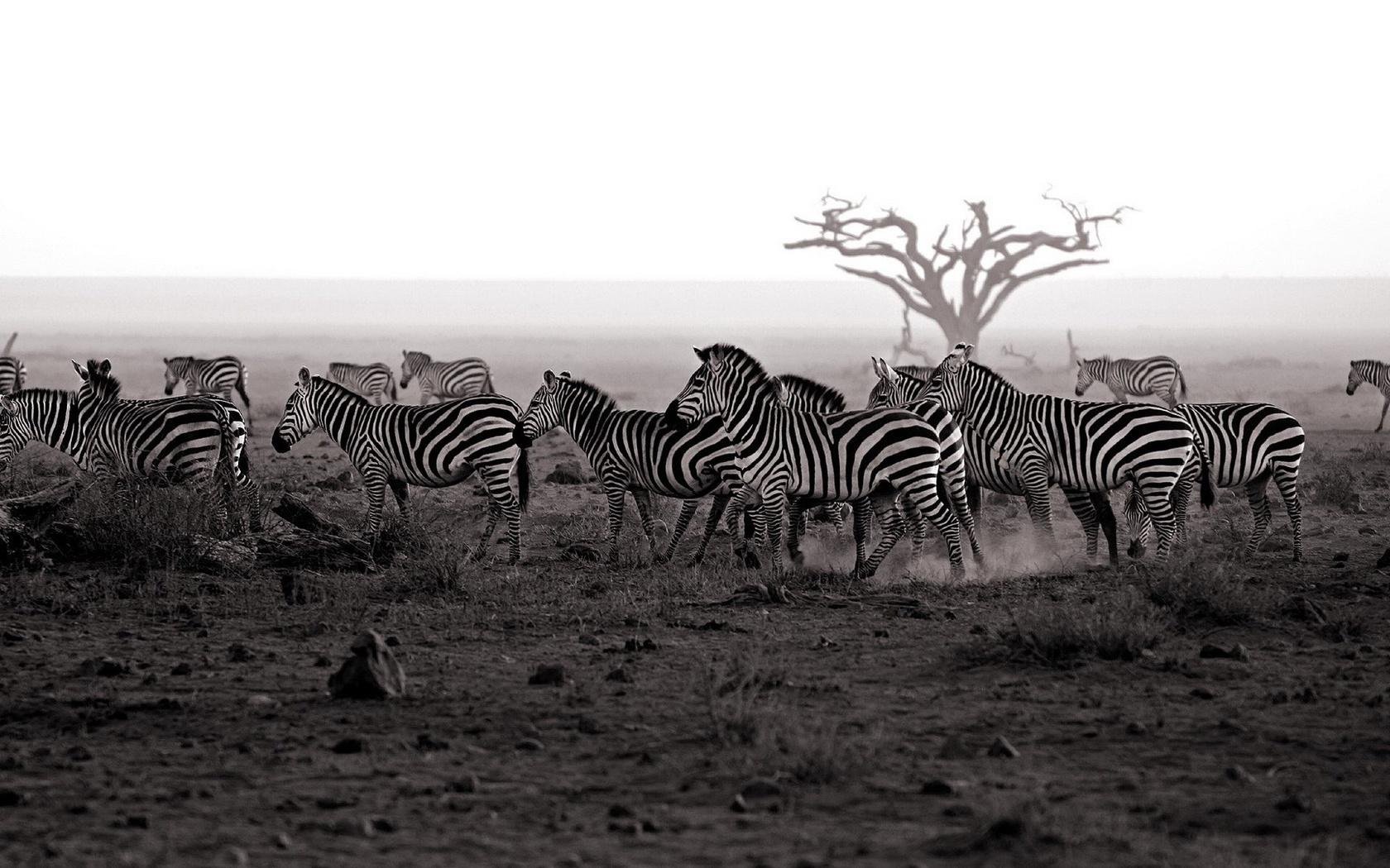 животные, зебра