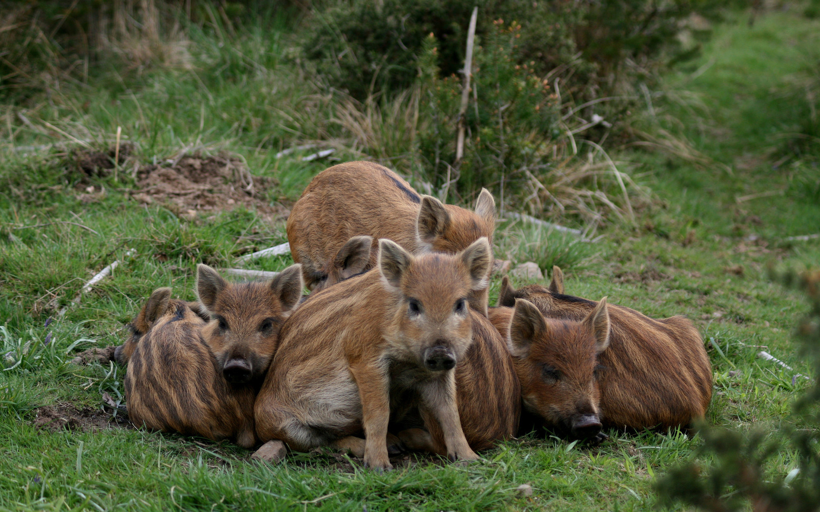 boars, pigs, wildlife