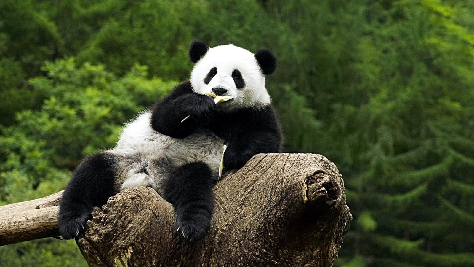 Прикольный картинки панды