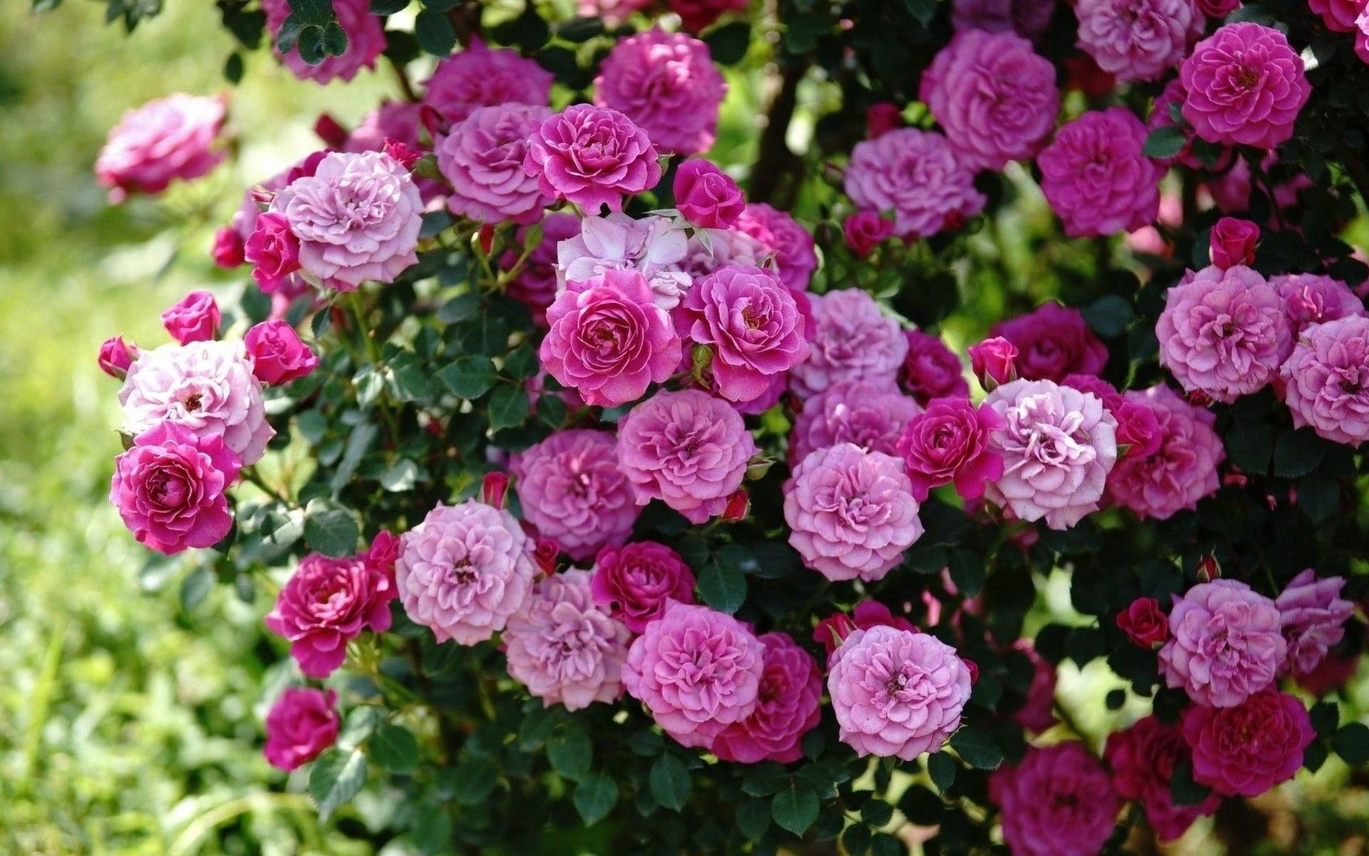 розы, куст, цветы