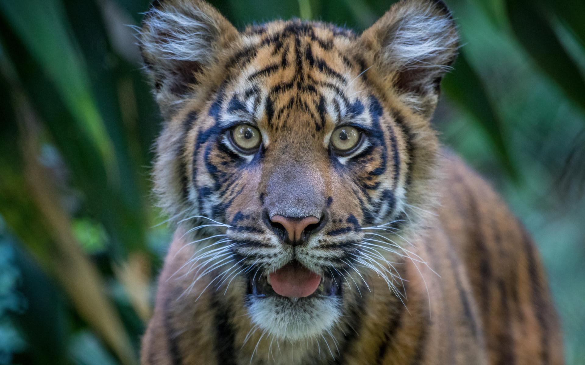 Тигрята картинки