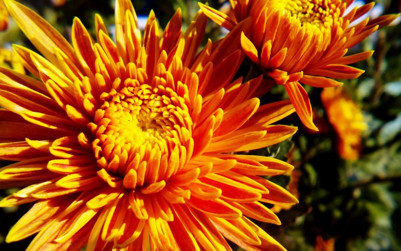 Нарисовать, картинки осень цветы золотая