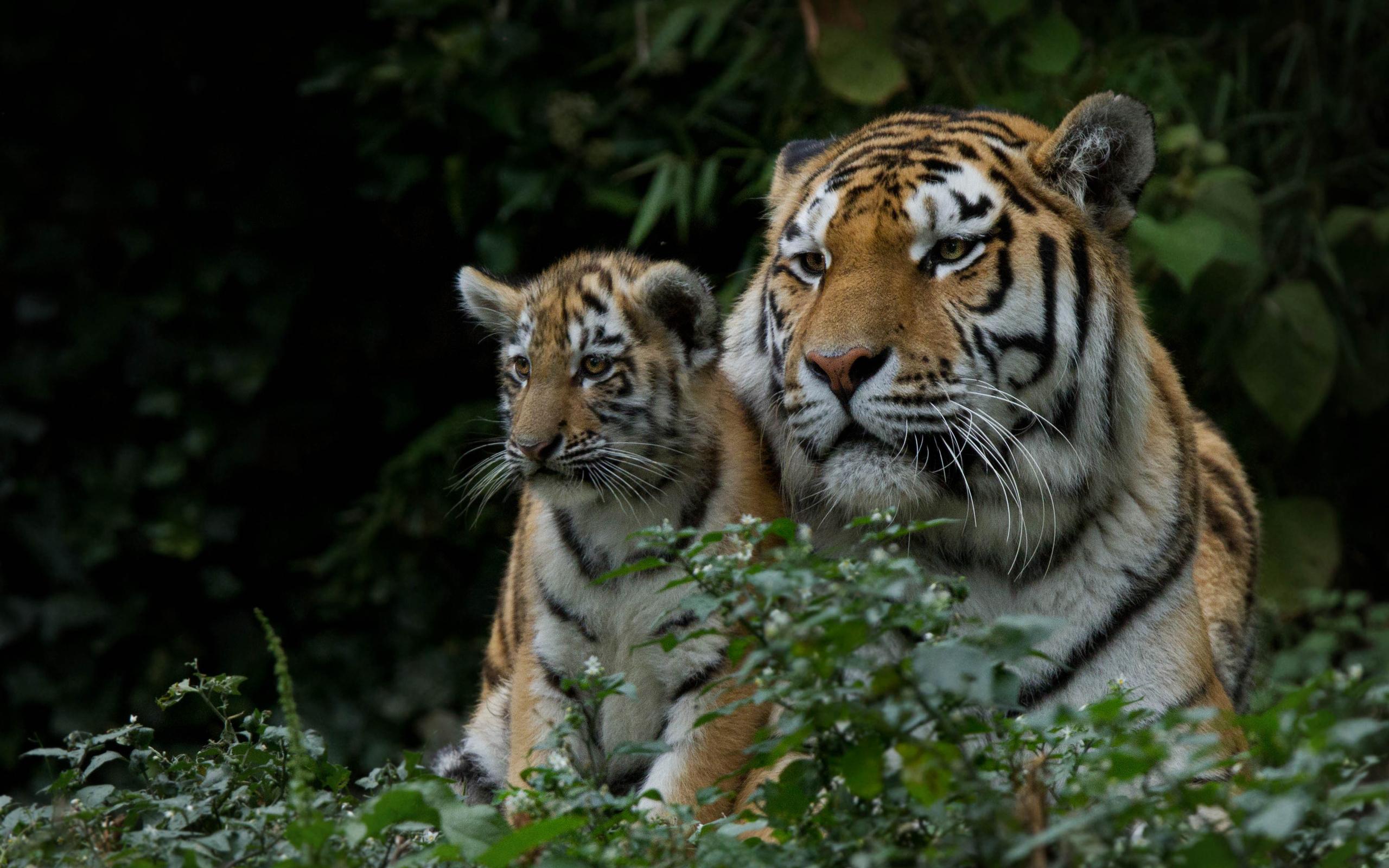 Марта, тигр с тигрятами картинки