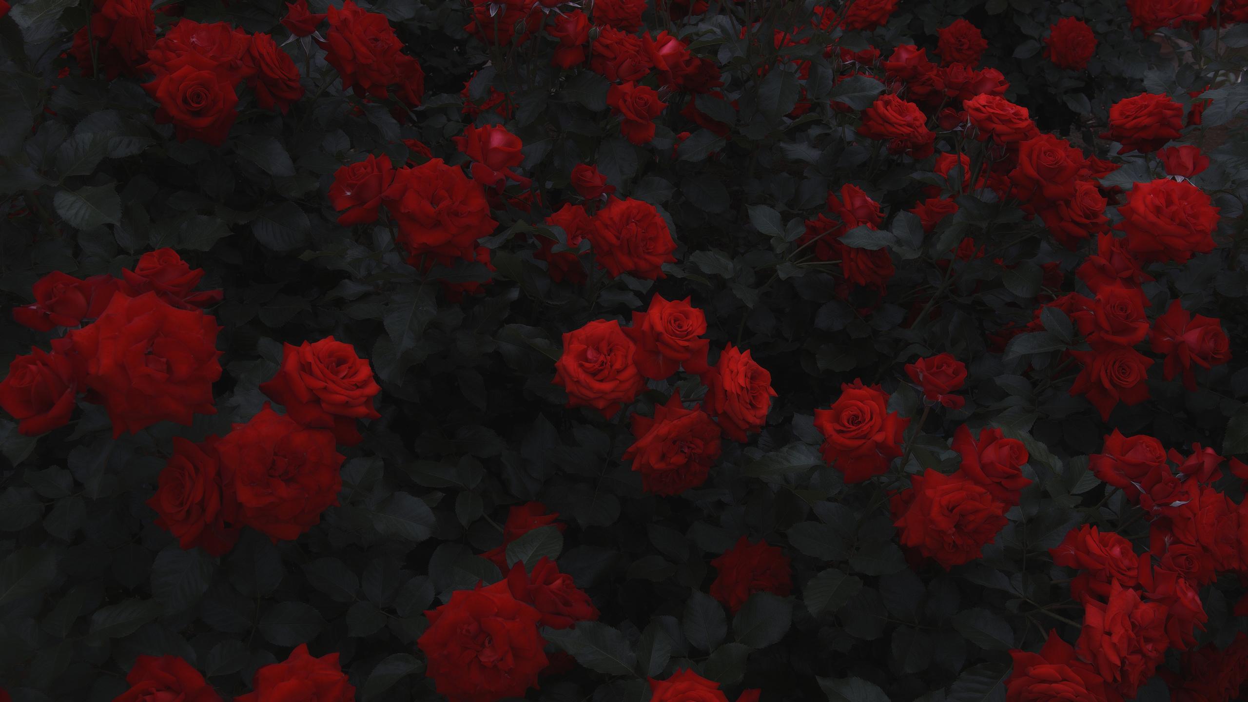кустарник, розы, цветы, флора