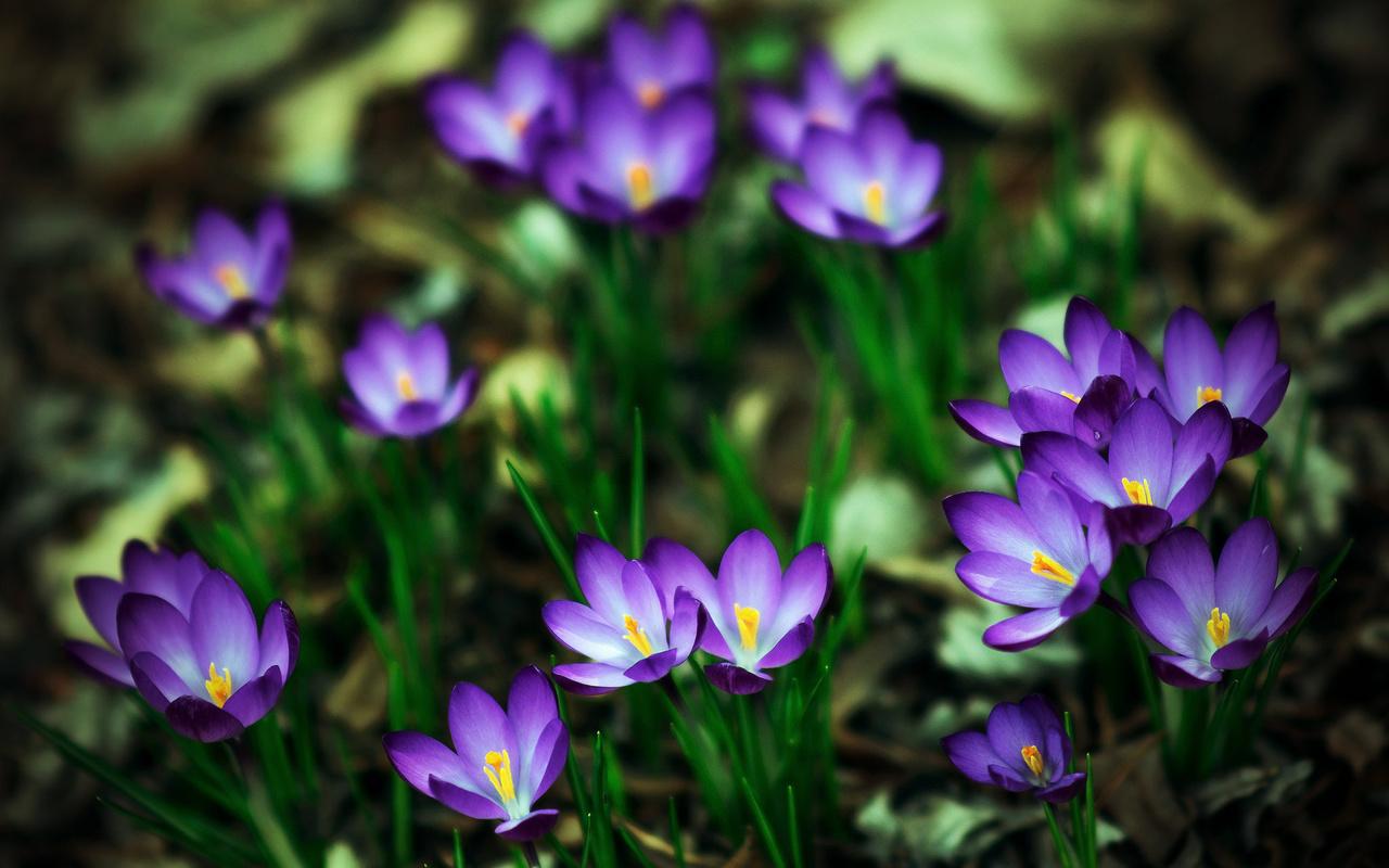 крокусы, весна, красиво, шафран, макро