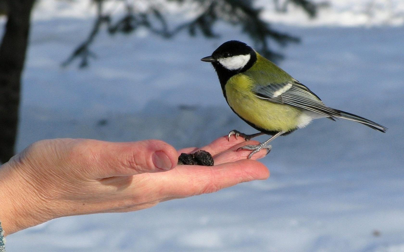 мороз, синица, доверия, кормите, птиц