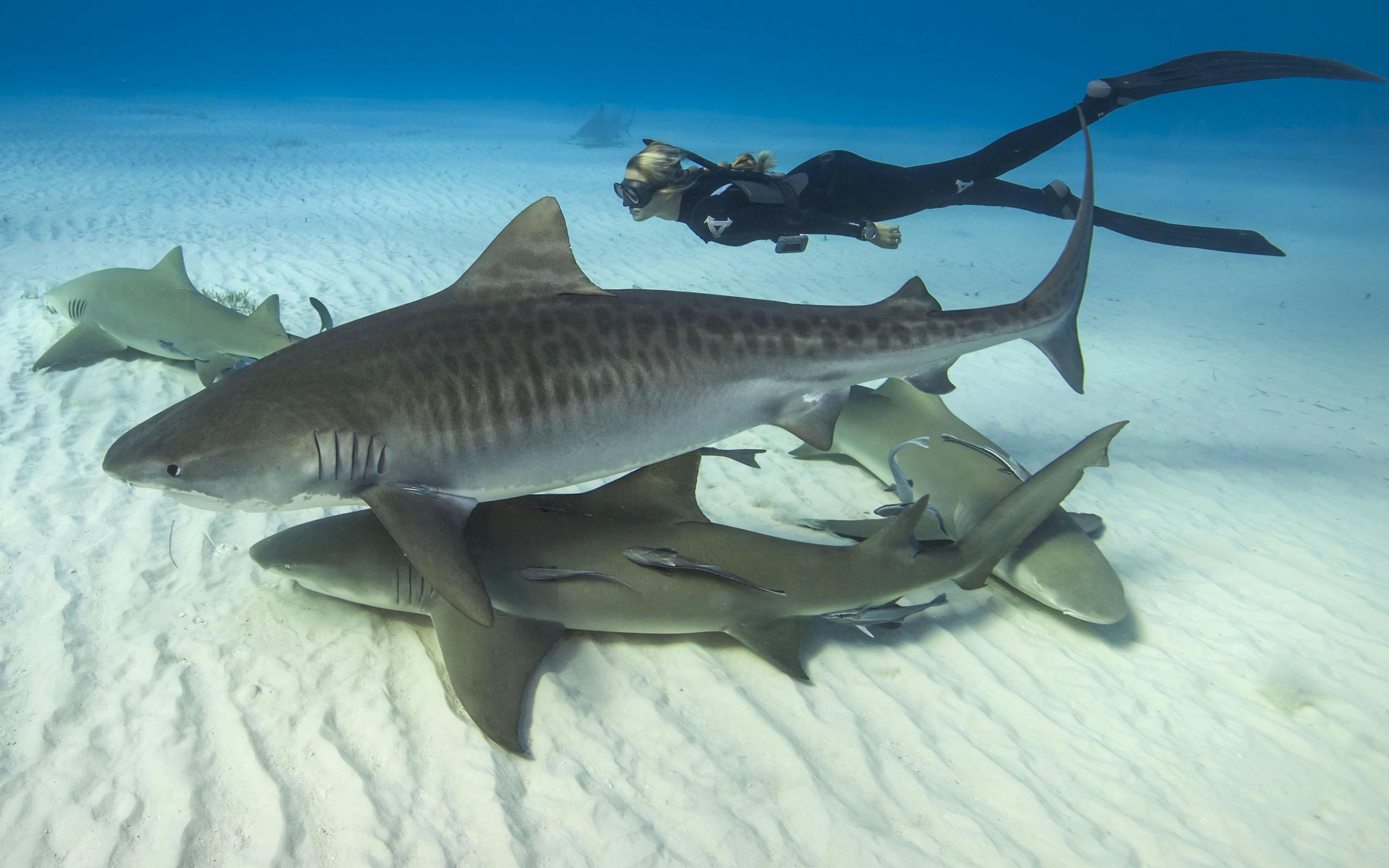 фото, под водой, акулы, девушка, акула, хищница, дайвинг, красава