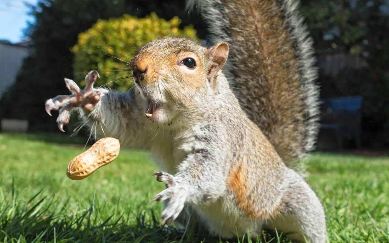 белка, арахис, белка, полет