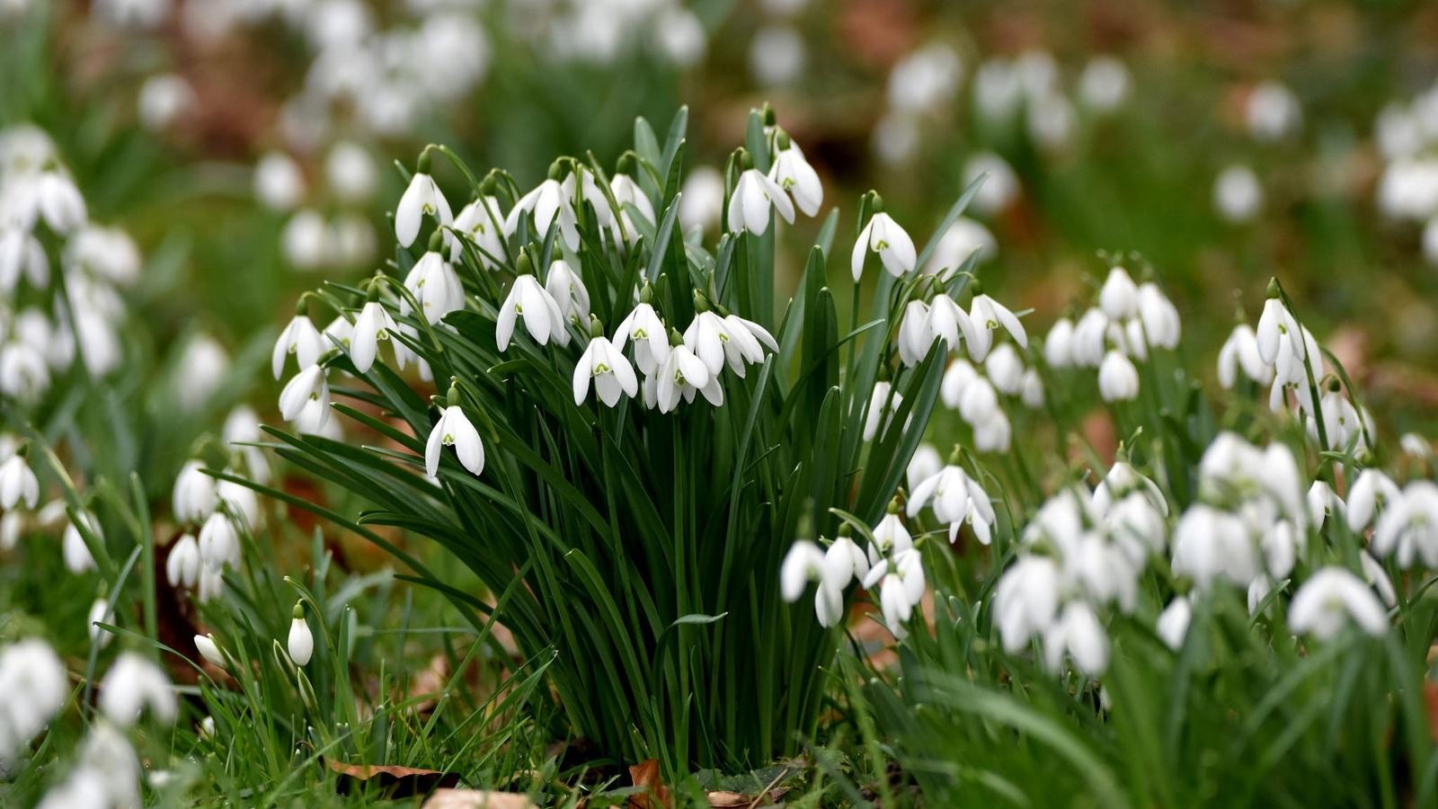 весна, цветы, подснежники