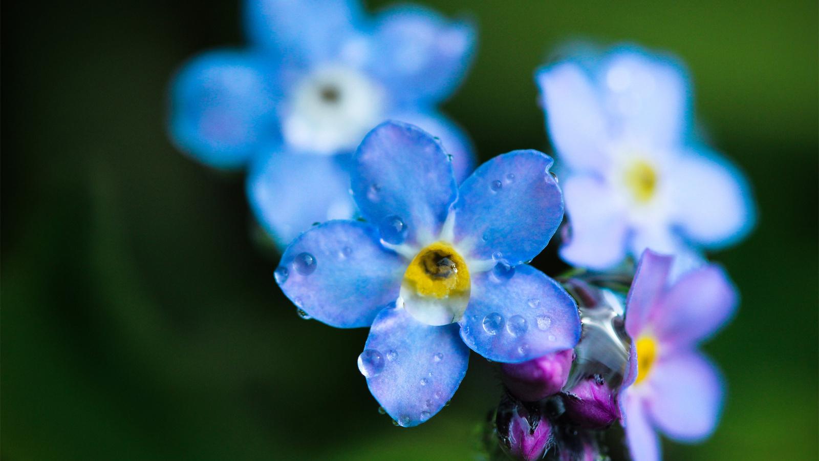 Цветы незабудки картинки красивые