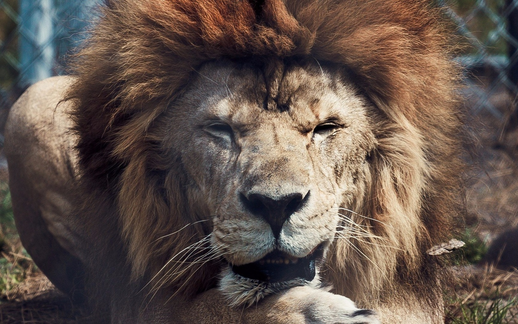 Картинки львов на рабочий стол, открытки гифки прикольные