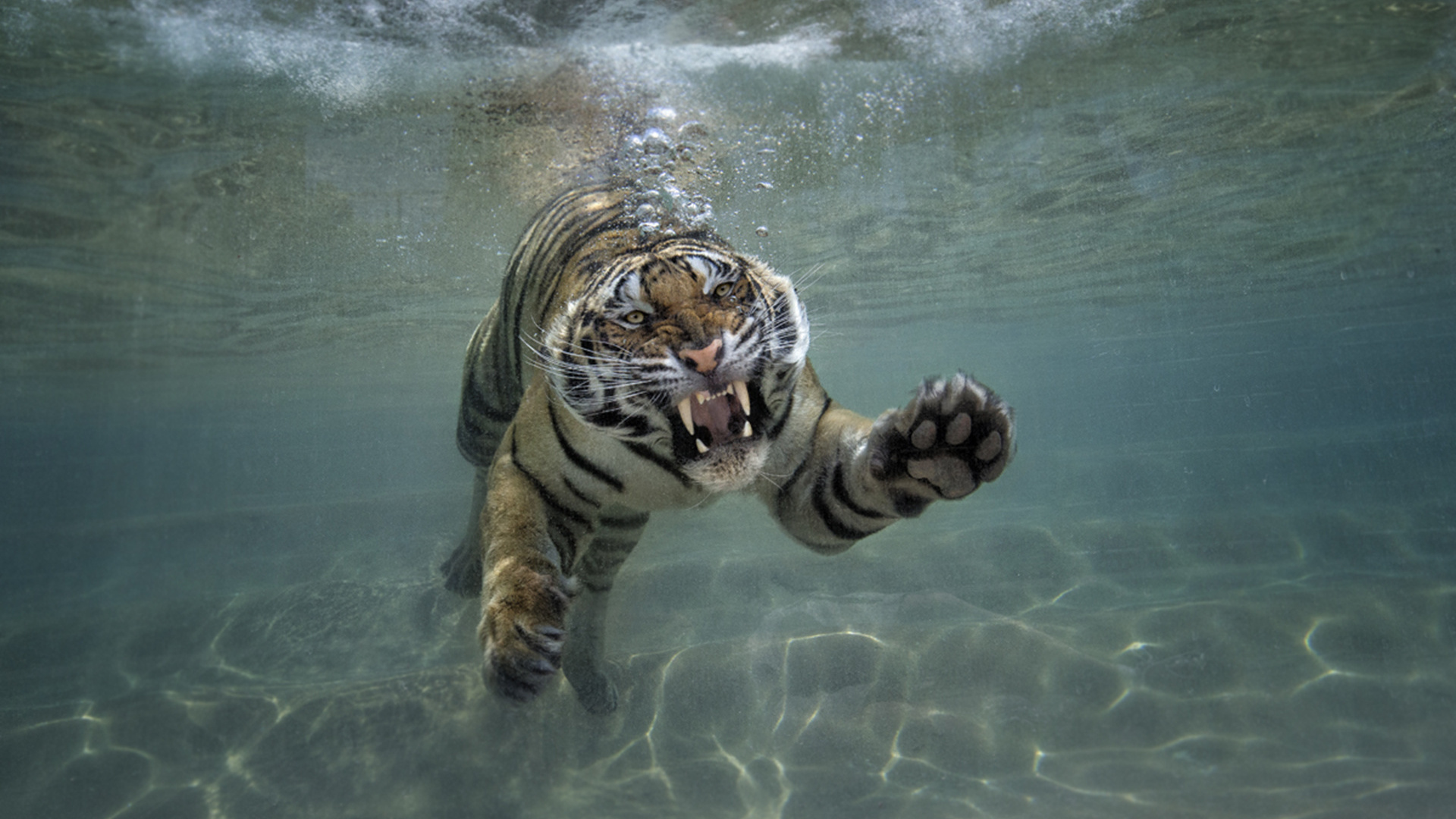 Тигр на море картинки