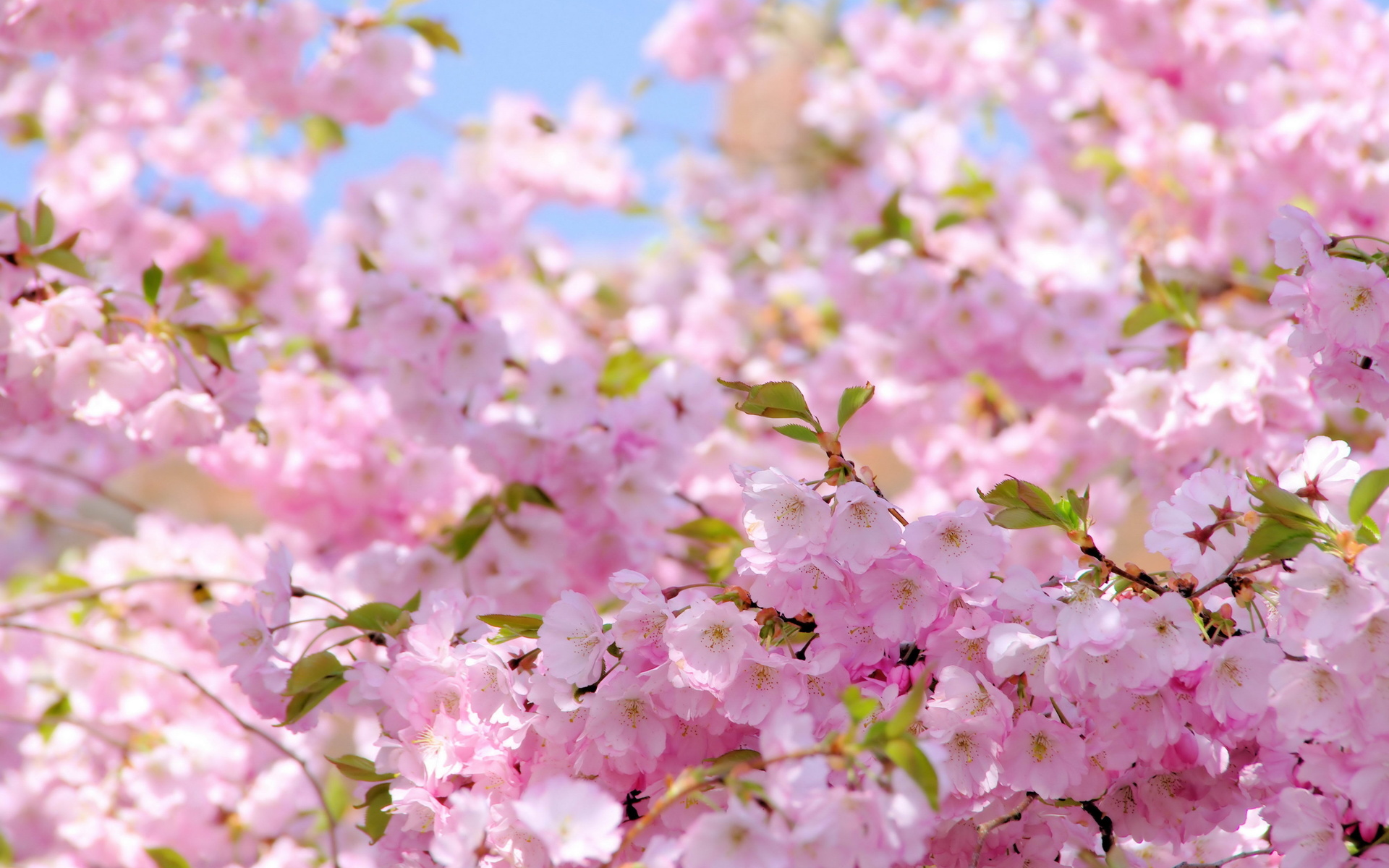 Открытка цветущая вишня