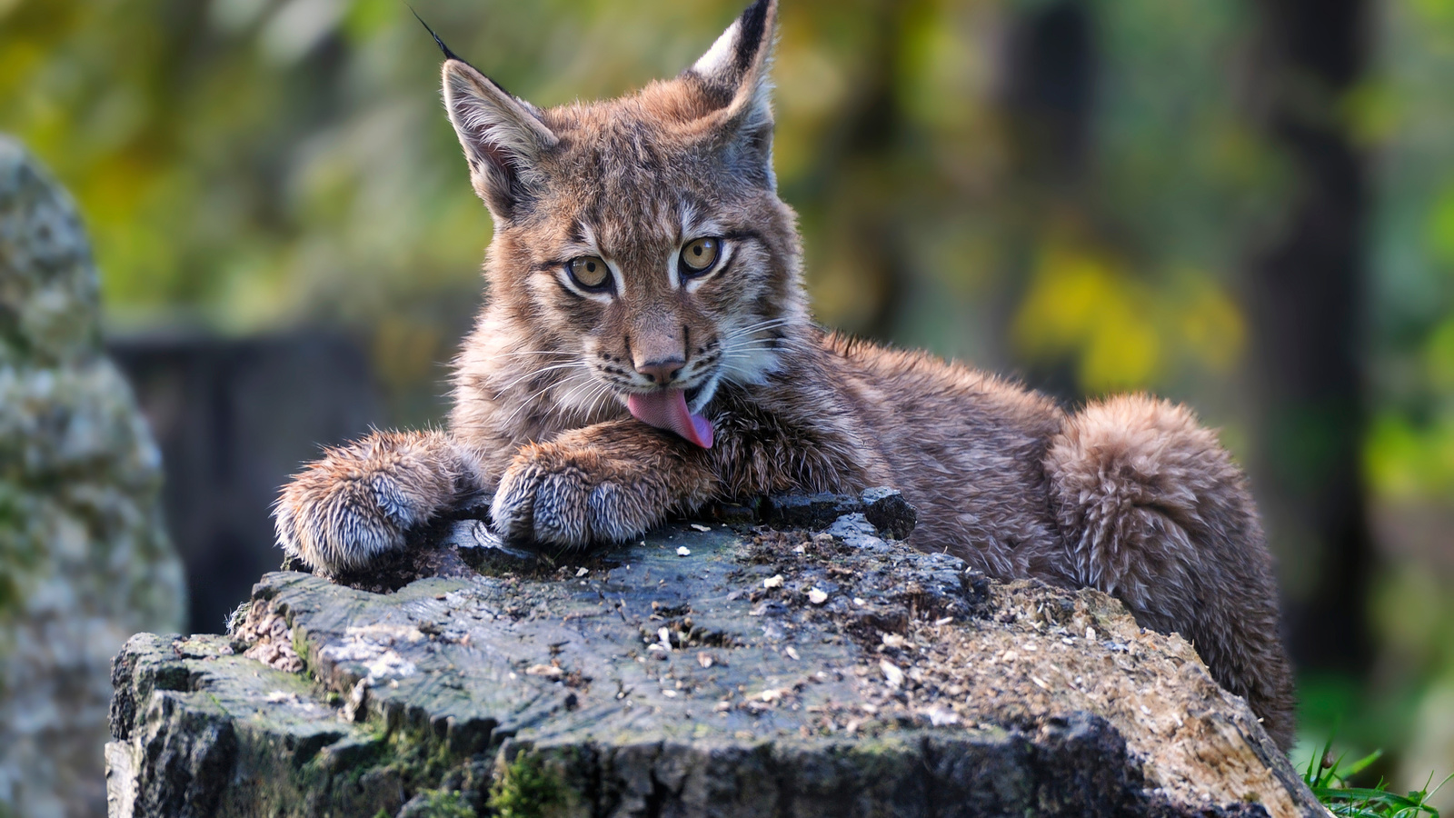 животное, взгляд, хищник, природа, пень, рысь, детёныш, зелень,деревья,язык,шерсть,лапы,когти,нос,усы,глаза,взгляд,внимание