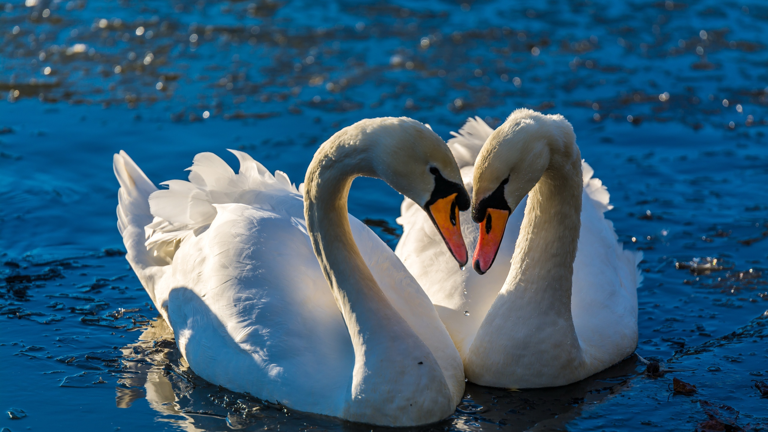 Картинки пары лебедей