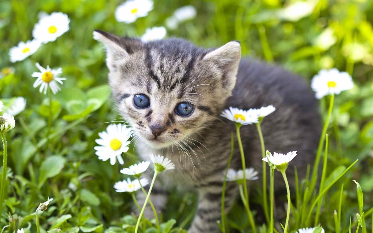 природа, лето, трава, цветы, маргаритки, животное, котёнок, детёныш
