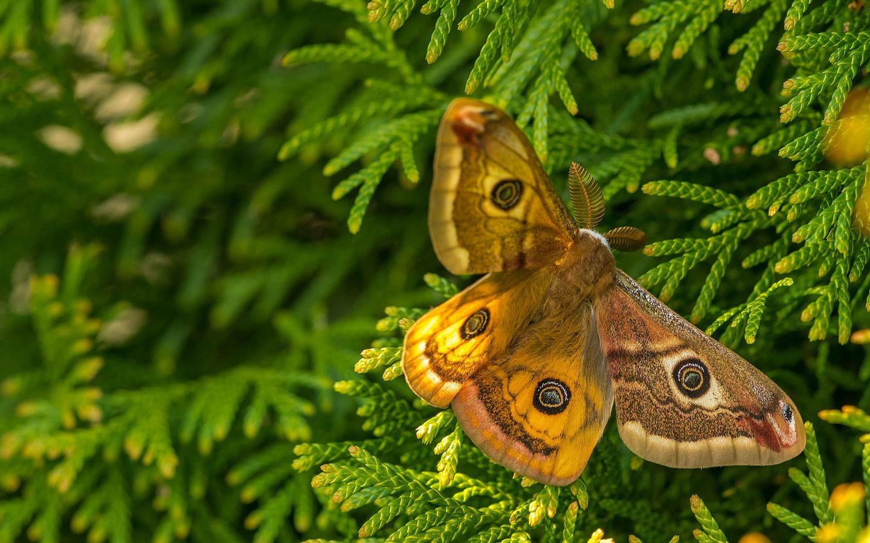 бабочка, butterfly, метелик, туя, макро, мотылёк, мотылек