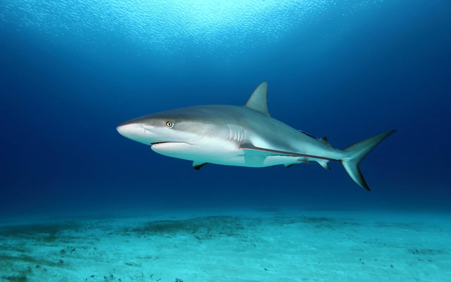 вновь картинки красивых белых акул петунии прекрасно