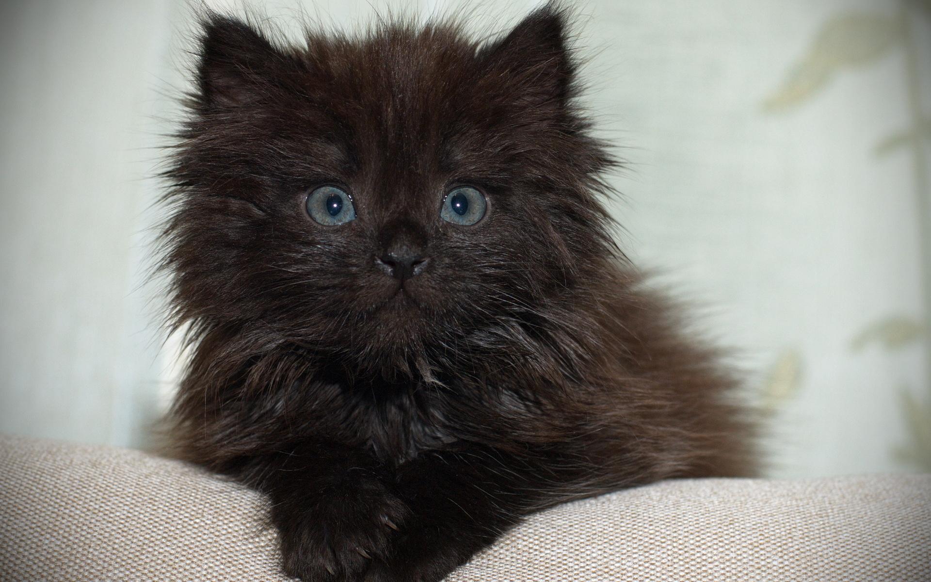 мини-мишек фото черного пушистого котенка также