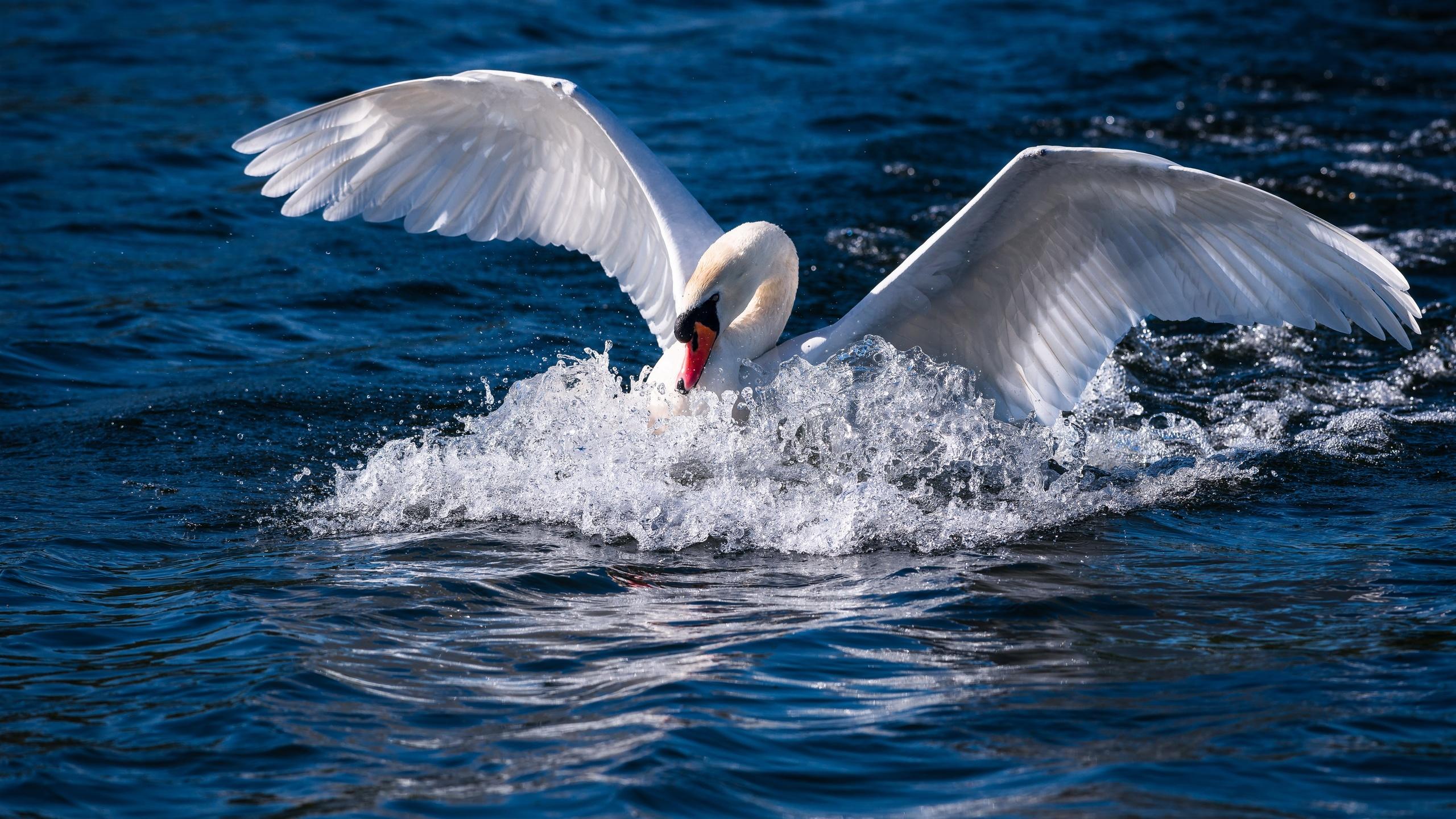 птицы мира, вода, птица, лебедь, крылья, размах, взмах, брызги