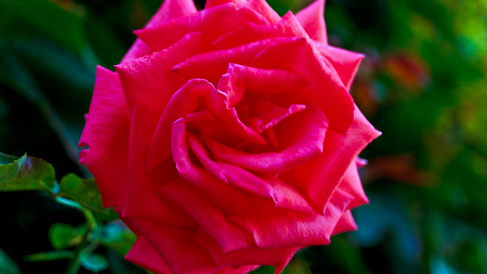 роза, бутон, лепестки, листья, цветение, rose, bud, petals, leaves, blossoms