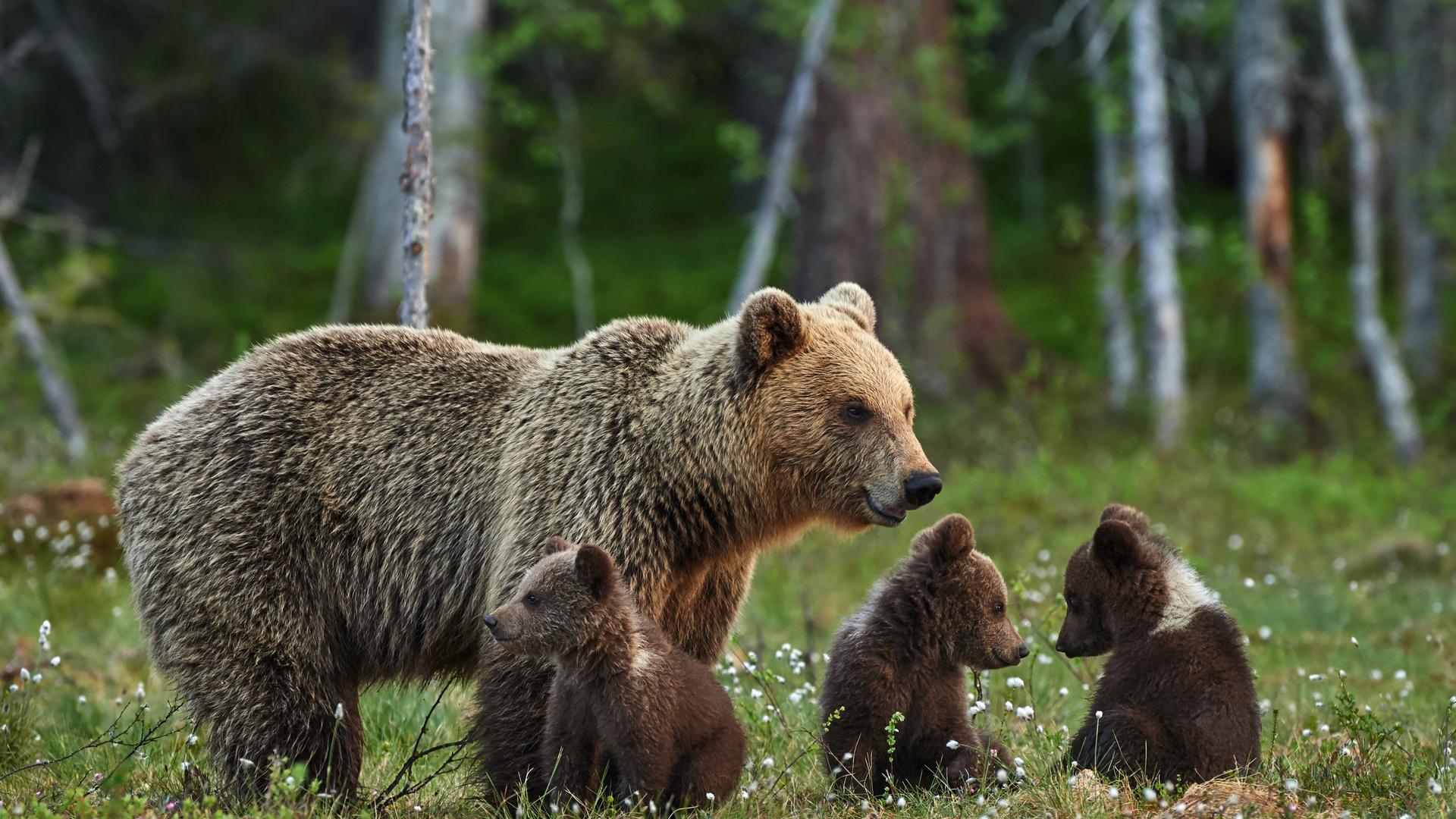Бурый медведь открытка, днем рождения мамочка
